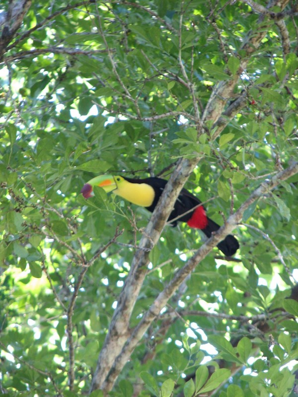 Toucan à la recherche de fruits